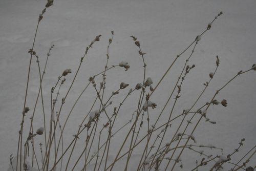 Snow grass